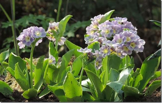 violett 3