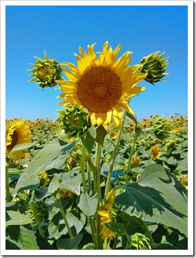 130706_CR102_sunflowers_20