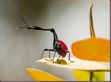 Amazing Pictures of Animals, photo, Nature, exotic, funny, incredibel, Zoo, Giraffe weevil, Insecta, Alex (13)