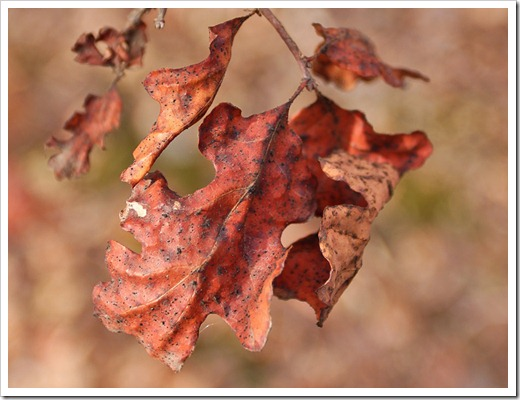 120102_brown_oakleaf