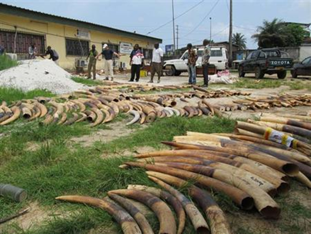 This undated handout photo shows stockpiles of ivory from poached elephants in Gabon. Photo: Reuters / TRAFFIC / Handout