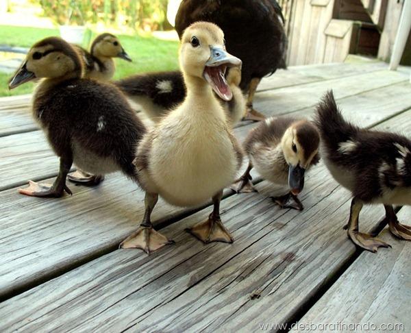filhotes-patos-fofos-pequenos-desbaratinando (25)