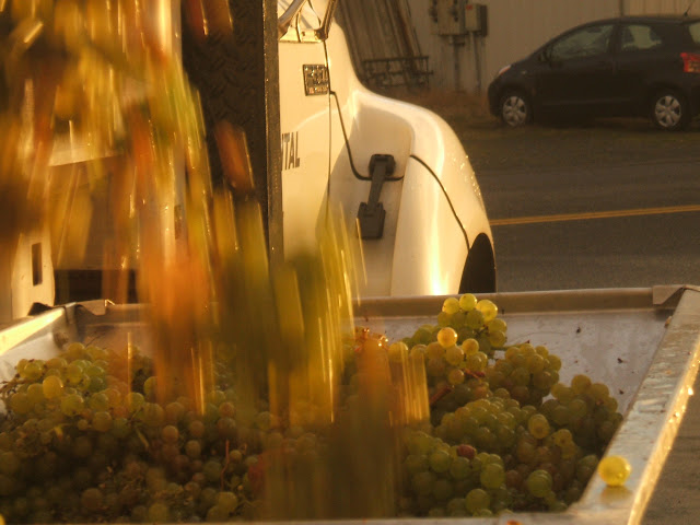 November/December 2011 - 3rd Place / Chardonnay grapes going into the crusher/destemmer at GLM Wine Co. in Blaine  / Credit: Tracey DeGraff