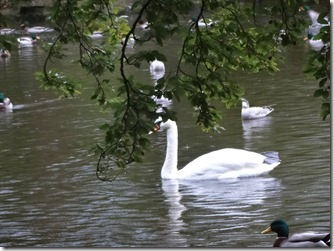 Swans at Stephens