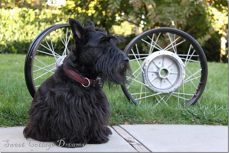 Duhgall - A Wheeeeely Good Dog!