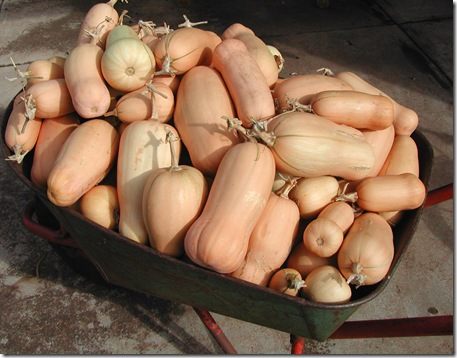 Butternut Pumpkins by the barrow-load...