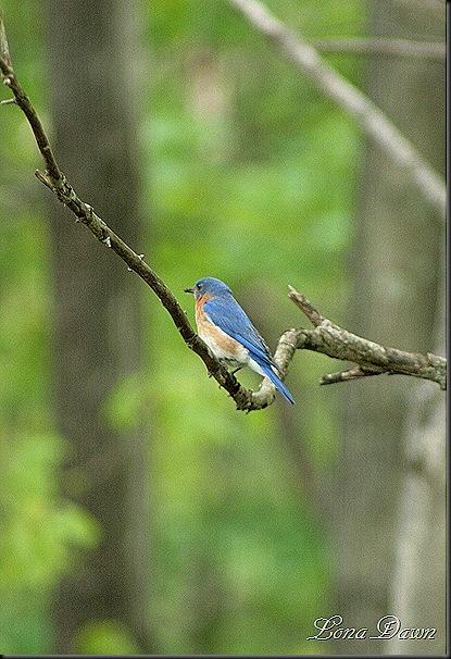 Bluebird_April25