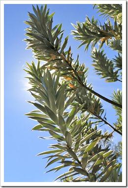 121027_UCSCArboretum_Leucadendron-argenteum_08