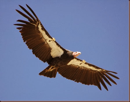 Amazing Animals Pictures California Condor (2)