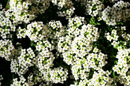 Little Dorrit - Alyssum, House Maids