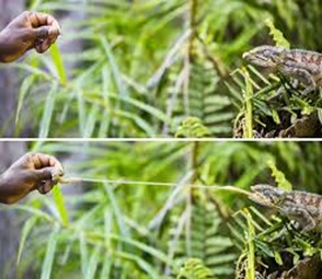 Amazing Pictures of Animals, photo, Nature, Exotic, Funny, Incredibel, Zoo, Panther chameleon, Furcifer pardalis, Reptilia, Alex (15)