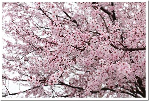 120228_Prunus-cerasifera-Krauter-Vesuvius_18