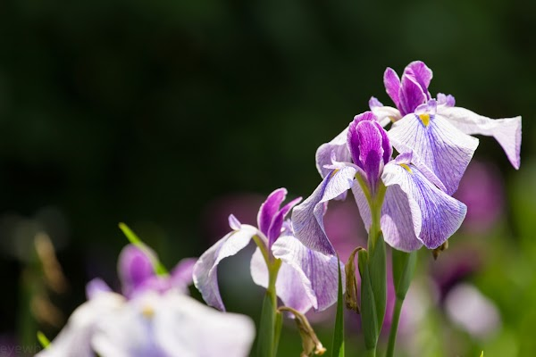 花菖蒲の写真