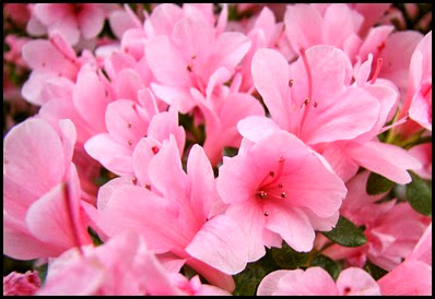 Azaleas_pink