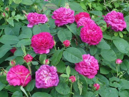 الوردة الدمشقية Rosa damascena