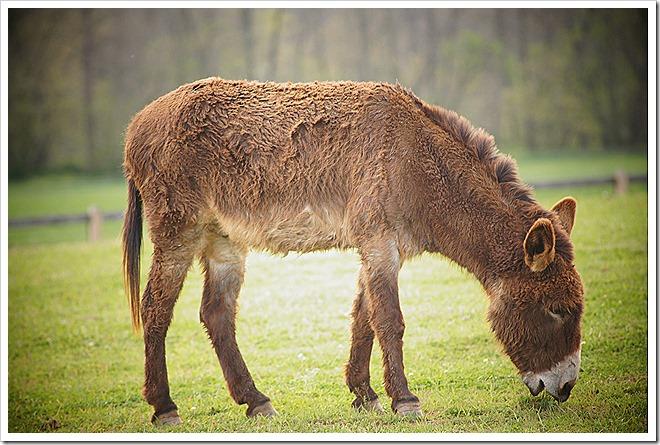 mule-public-domain-picture (6)