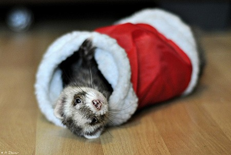 Christmas-Comes-to-Fife-Ferret-Rescue-l