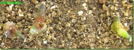 Ariocarpus furfuraceus Matehuala - SLP-2011-11-22_00020IMG_7919