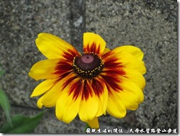 天母水管路登山步道,太陽花