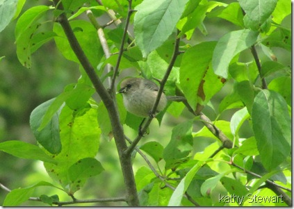 Bushtit with bugs