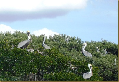 pelican in mangroves