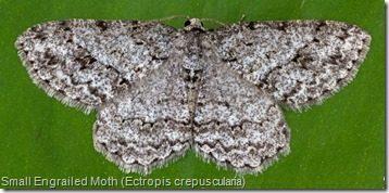 6597 Small Engrailed Moth (Ectropis crepuscularia) (3)