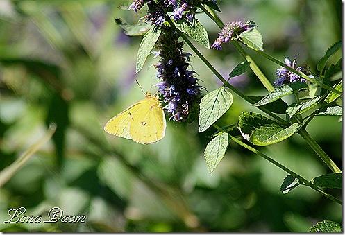 FPC_Butterfly_CloudedSulphur