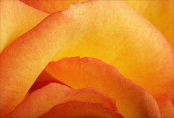 rose-closeup