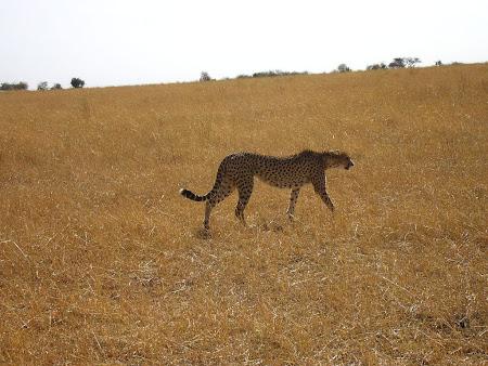 Safari: sheetah