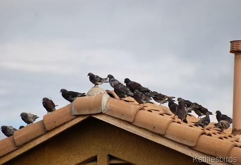 6. rock pigeons-kab