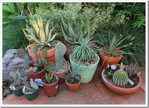 110707_frontyard_potted_succs