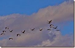 Sand Hill Cranes Wilcox AZ 034