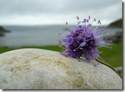 scabious and stone