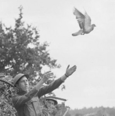 carrier_pigeon_during_WWII