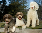 Lagotto Romagnolo - an ancient Italian breed with a really great hair-do. Photo By Jerry Reed