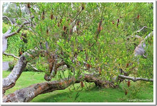 130715_KulaBotanicalGarden_Banksia-ericafolia_002