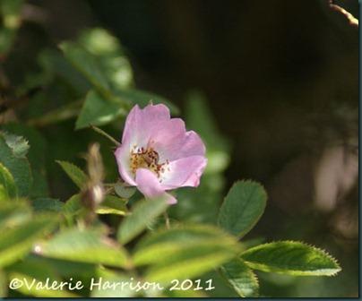 16-dog-rose