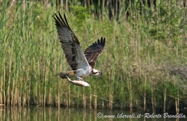 3_Falco pescatore_Pian di Spagna ed(35)