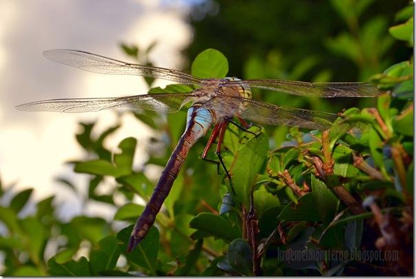 Odonata {Libelle} (2)
