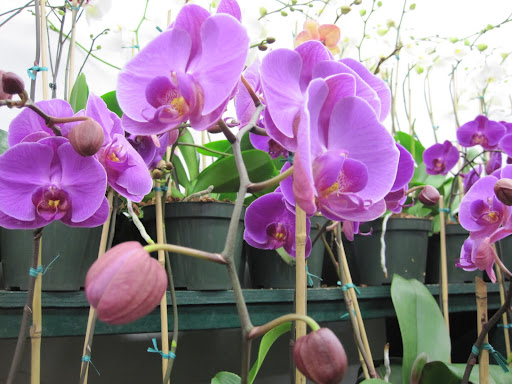 Here is a close-up of the beautiful phalaenopsis!