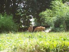 2013.08.04-018 loups à crinière
