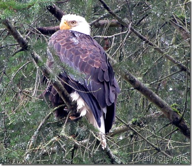 adult in a fir tree