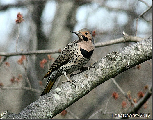 Northern_Flicker3