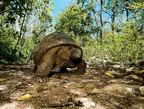 Giant Tortoise 001