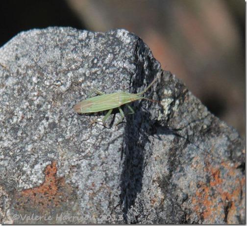 34-mirid-bug