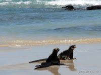 Iguanas am Strand