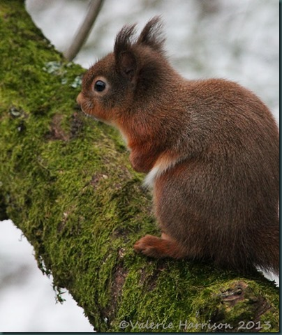 red-squirrel-8