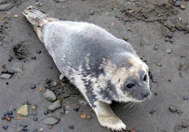A ringed seal displays significant hair loss on the Artic Ocean coast near Barrow, Alaska. An unknown disease is killing or weakening ringed seals along Alaska's north coast. Ringed seals, the main prey of polar bears, and a species that rarely comes ashore, in late July began showing up on the Beaufort Sea coast outside Barrow with lesions on hind flippers and inside their mouths, along with patchy hair loss and skin irritation around the nose and eyes. North Slope Borough  /  AP file