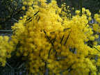 Aug 19 - Wattle Flowers