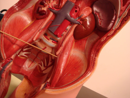Psoas minor muscle